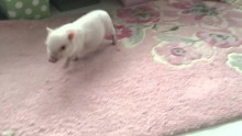 Piglet is a Cute Ball of Energy